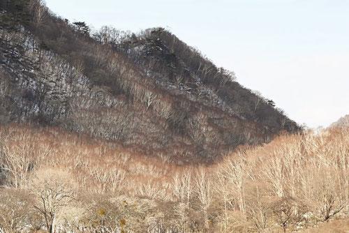 シラカバの林,赤城山
