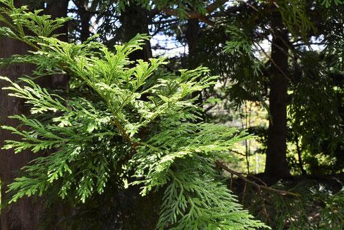 あすなろの木の種類