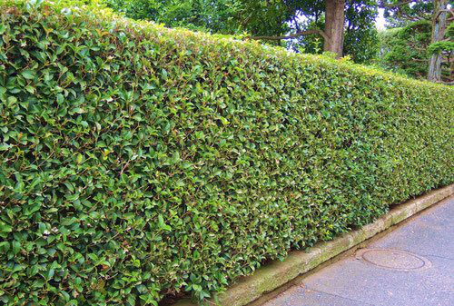 Fortune's osmanthus,fence