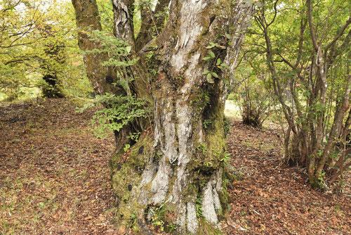 熊しでの木,幹