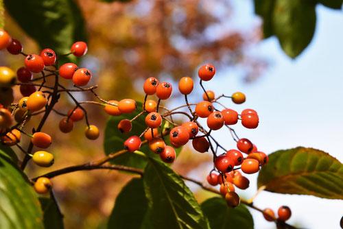 Christmas berry, fruits