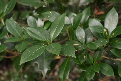刺のないヒイラギの葉