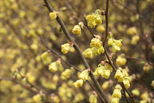 開花時期 ひゅうがみずき