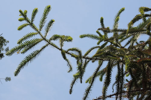 ぶらじる松の木