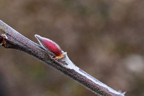 ネコヤナギ,冬芽