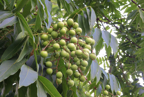 Soapberry tree,fruits