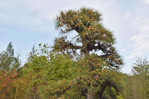 にしきまつの木