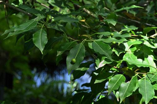 ソヨゴの木の実