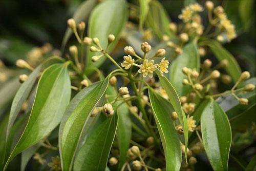 肉桂の花,画像