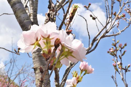 天の川,桜,画像