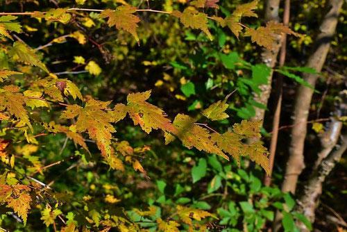 コゴメウツギ,紅葉,黄葉