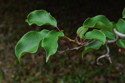 サルナシの葉っぱ 画像