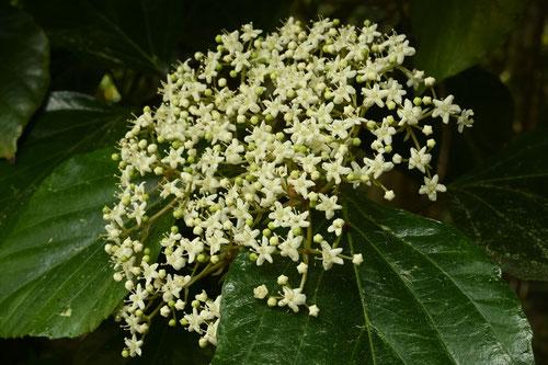 白山木,花,画像,はくさんぼく