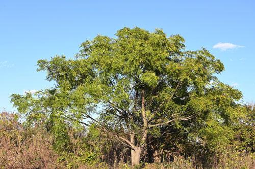 栴檀の木,画像