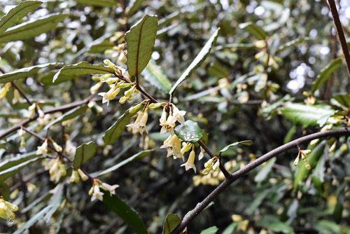 苗代茱萸,なわしろぐみ,花,香り