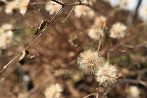 高野箒,植物