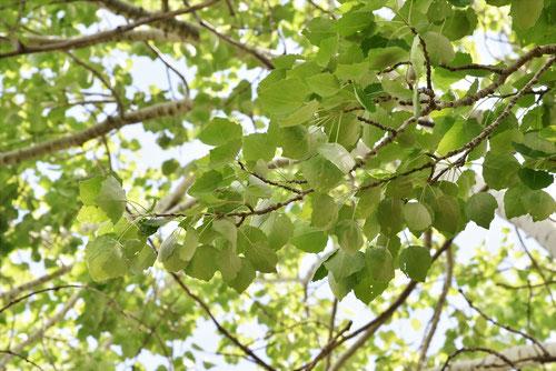 ウラジロハコヤナギ,銀泥の木