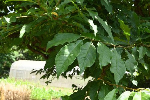 スモモ 葉っぱ 特徴