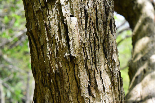 Silkworm thorn
