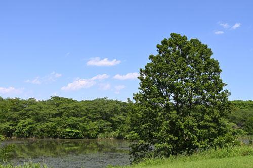 榛の木,樹木