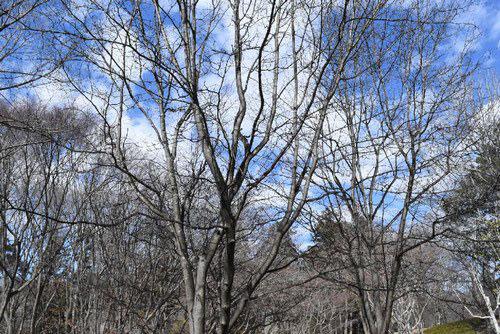ハカリノメ 樹木