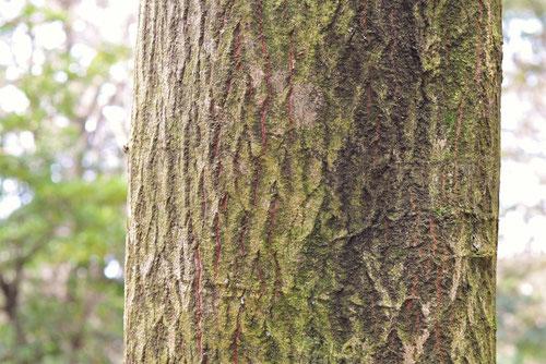 Large leaf dogwood,trunk