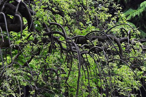 枝垂れ槐,画像