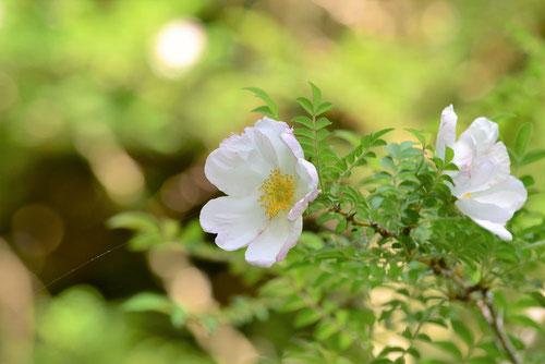 サンショウバラ,花,色