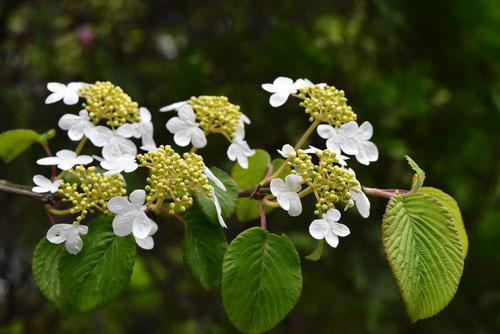 ガクアジサイに似た花