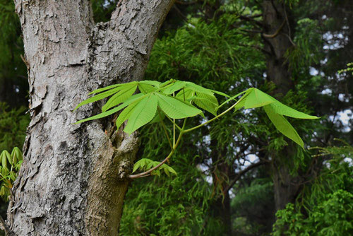 Horse chestnut,leaves