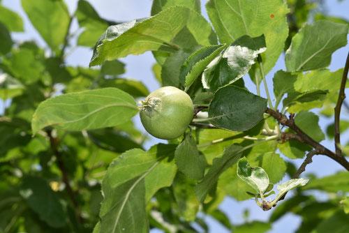 リンゴの果実