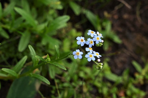 forget me not,flower