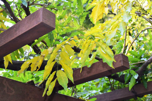 藤 紅葉 黄葉