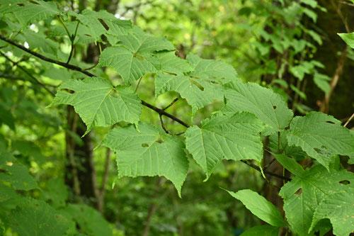 葉っぱ 画像