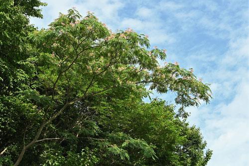 合歓の木 樹形