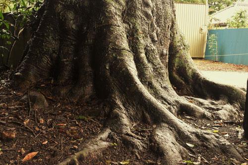 欅,大木,巨樹,けやき