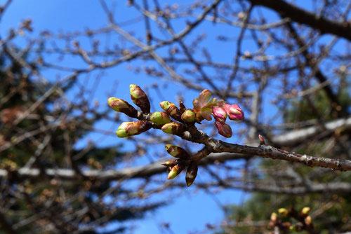 河津桜,かわず,つぼみ