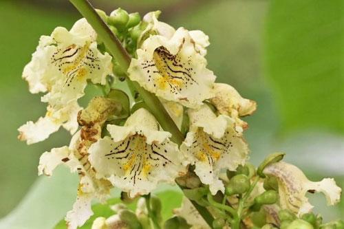 キササゲの花,画像