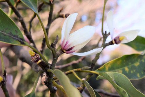オガタマノキ 綺麗な花 画像