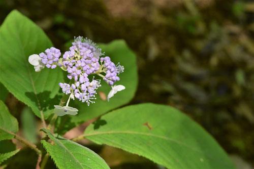 玉紫陽花,雄しべ