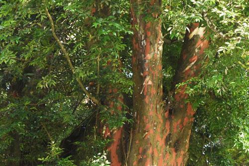 ナギの木の幹