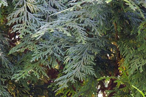 アスナロ,木,意味