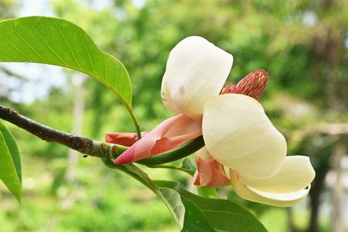 ホオノキに似ている花の名前