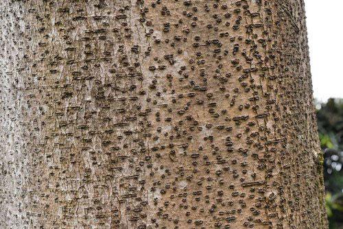 イイギリの樹皮 画像