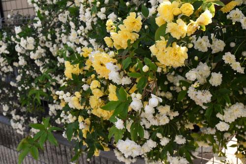 花のフェンス