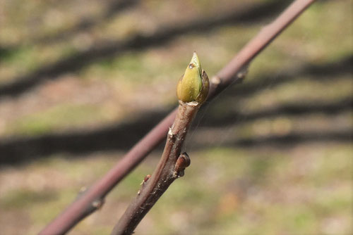 花筏の木の芽
