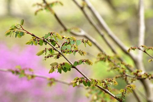 こばんのき,植物