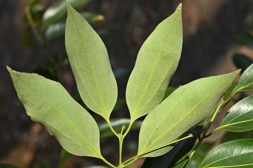 藪肉桂 樹木