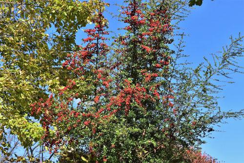 トキワサンザシ 画像 赤い実