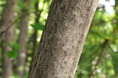 黒文字という木,樹皮,特徴